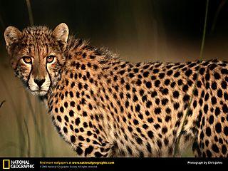 Cheetah-closeup