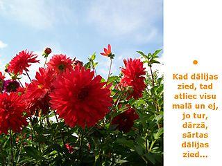 Dālijas zied...