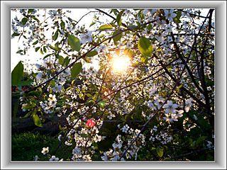 Ziedos zudušais...