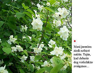 Jasmīna zieds