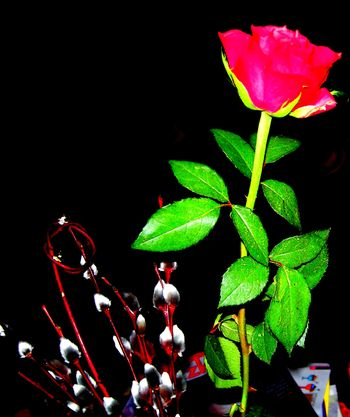 Vīrieši -roze
