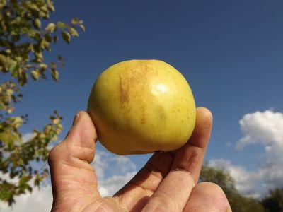 ābolam