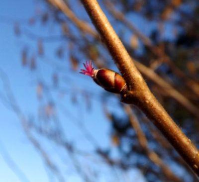 Lazdas ziediņš