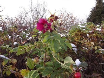 roze oktobrī