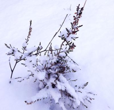 Virši sniegā