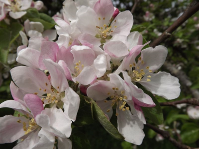ābeles zied...