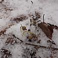 Ziemassvētku vizbulītes zem sniega segas...