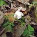 Balts ziediņš un zaķa kāposts 19. novembrī