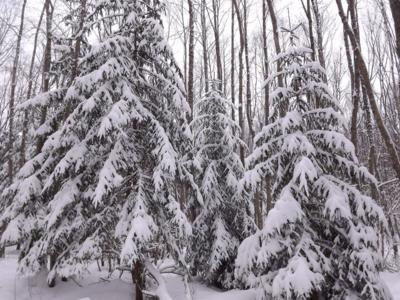 ziema mežā