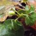 Vizbulīte ar ziedpumpuriņu