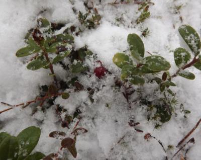 Dzērvenīte sniegā