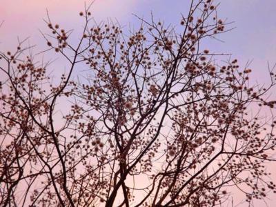 Novembra ziedošais koks