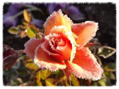 rudens roze...