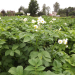 Zied kartupeļi 22. jūlijā