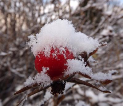 Mežrozītes auglītis pirmā ziemas mēneša 1 dienā