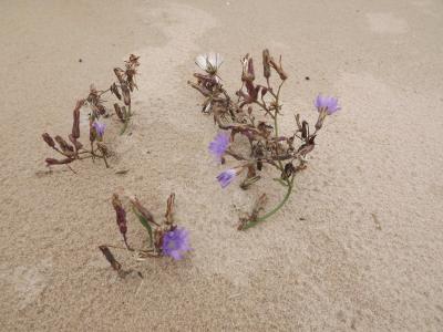 Ziediņi liedaga smiltīs