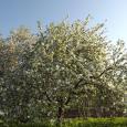 Ziedošās ābeles 17. maija rītā
