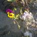 Atraitnīte un gurķu mētra 17. oktobra rītā