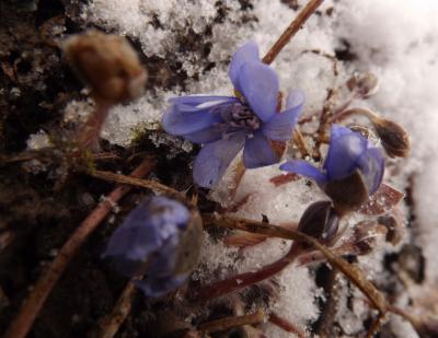 Zilā vizbulīte 30. martā