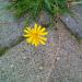 Maura ziediņš 19. oktobrī