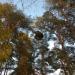 Vēja slota priedē