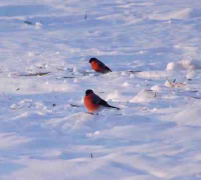 Sarkankrūtīši marta sniegā