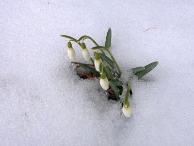 Sniegpulkstenītes Jevdokijas rītā