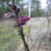 Zalktenītes ziediņš 31. decembrī