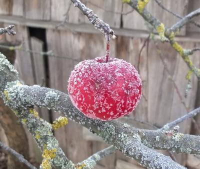 29. novembra ābols