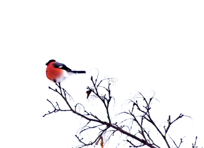 Sarkankrūtītis Ziemassvētku laikā