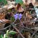 Vizbulītes mežiņā 15. februārī