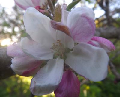 ābeles ziediņš 22. maija vakarā