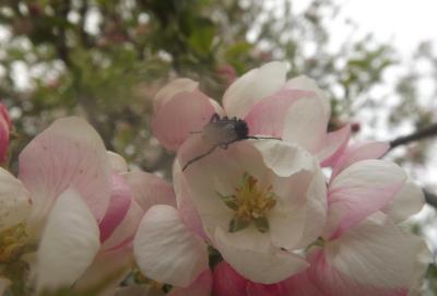 ābeles ziedos 22. maijā