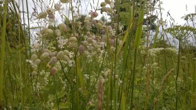 Plaukšķene jūlija pļavā