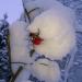 Mežrozītes auglītis sniegā