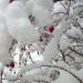 Mežrozīte otrajos Ziemassvētkos