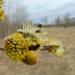 Pūpolvītola ziedos dzīvība