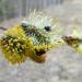 Pūpolvītola ziedos dzīvība-1
