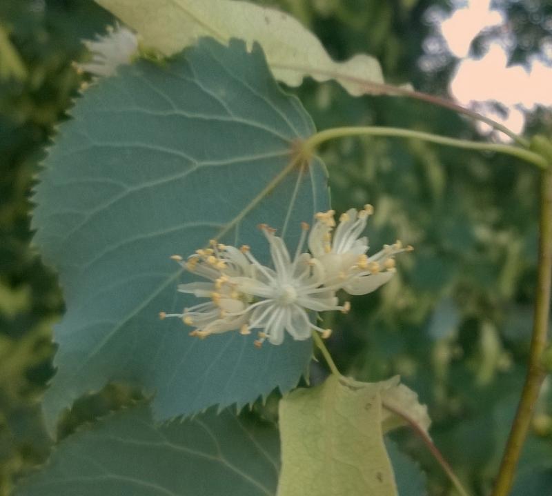 Liepas ziediņi liepas mēneša pirmajā dienā
