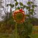 Dālijas ziedpumpuriņš slapjajā 15. oktobrī-1