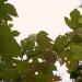 Irbenes ziediņi 16. oktobrī-2