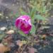 Sārtais ziediņš 16. oktobrī