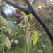 Tomātiņa ziediņi 16. oktobrī