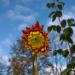Dālijas ziedpumpuriņš 16. oktobrī-1