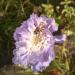 Bitīte ziedā 16. oktobrī-1