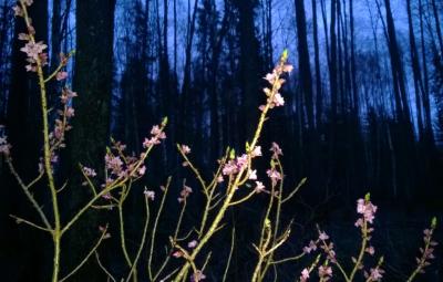 Zalktene pilnos ziedos