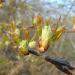 Ievas ziedpumpuri 17. aprīlī-1