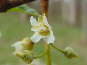 Ievas ziediņš 7. maijā-5