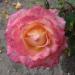 Rudens roze 17. septembrī