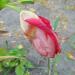 Tigrīdijas pēdējais ziediņš 17. septembrī uz atvadām